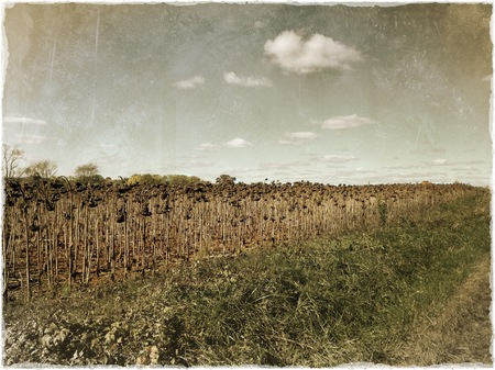 Field of Dead Sunflowers