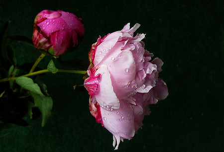 Roses, After The Rain